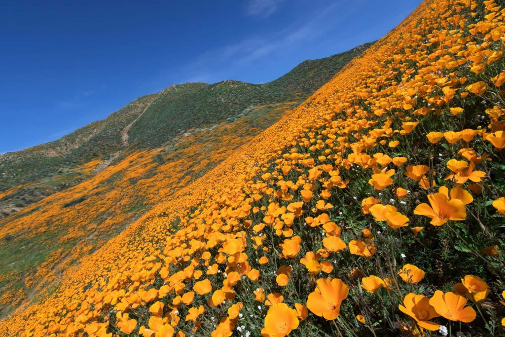 Image of the California poppy bloom that is causing drivers to stop on the freeway
